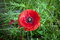 The poppy in the garden. Royalty Free Stock Photo