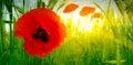 Poppy among green grass of summer field Stock Photos