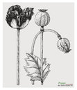 Poppy hand drawing engraving style Royalty Free Stock Photo