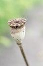 Poppy head Royalty Free Stock Photo