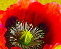 Poppy head Royalty Free Stock Photo