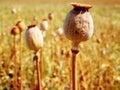 Poppy Head