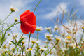 Poppy in landscape with daisies Royalty Free Stock Photo