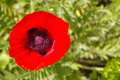 Poppy with a lot of details against a bokeh background Stock Images