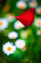 Poppy macro photo of opened with red poppies in the spring Royalty Free Stock Photography
