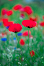 Poppy macro photo of opened with red poppies in the spring Royalty Free Stock Photos