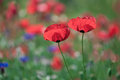 Poppy macro photo of opened with red poppies in the spring Stock Photography