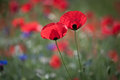Poppy macro photo of opened with red poppies in the spring Royalty Free Stock Photo