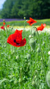 Poppy in nature background