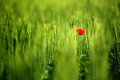 The poppy one single in a wheat field Royalty Free Stock Photo