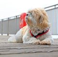 Poppy on the pier photo of a gorgeous shih tzu dog called posing for camera herne bay in kent Stock Photos