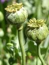 Poppy Pods Royalty Free Stock Photo