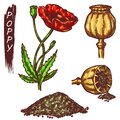 Poppy red flower and poppy seed elements Royalty Free Stock Photo