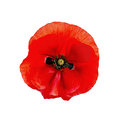 Poppy red isolated Royalty Free Stock Photo