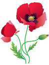 Poppy red on white background Royalty Free Stock Image