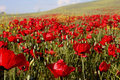 Poppy sea photo in the fields of batman city turkey Stock Photography
