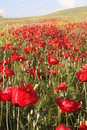 Poppy sea it taken in batman city turkey in spring time Stock Images