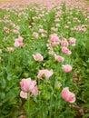 Poppy seed 2 Royalty Free Stock Photos
