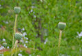 Poppy seed capsules Royalty Free Stock Photo