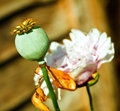 Poppy and seed head a large pink a Stock Image