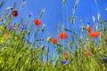 Poppy and sky Royalty Free Stock Photo