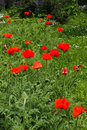Poppy summer field with lovely blue cloudy sky Stock Photo