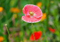 Poppy in summer flower bed closeup Royalty Free Stock Photo