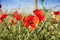 Poppy in a summer meadow tuscany italy Royalty Free Stock Image
