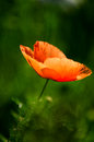 Poppy sunlight over red in a green field Royalty Free Stock Images