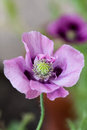 Poppy a vertical view of a single purple opium Royalty Free Stock Images