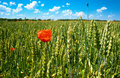 Poppy on wheat field Royalty Free Stock Photos