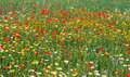 Poppy and white daisy field wild red flowers in the meadow spain Stock Images