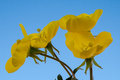 Poppy yellow poppies against a clear blue sky Royalty Free Stock Images