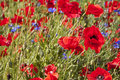 Poppyfield Royalty Free Stock Photo