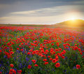 Poppyfield with bellflower at evening sunset Royalty Free Stock Photo