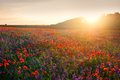 Poppyfield at evening sunlights Royalty Free Stock Photo