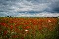 Poppyfield Royalty Free Stock Photo