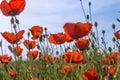 Poppys Meadow Grass Nature