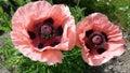 Poppys somniferum 免版税库存照片