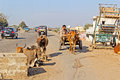 On porbandar street january gujarat traffic and cows of indian town gujarat Royalty Free Stock Photos