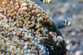 Porcelain crab and clown fish Royalty Free Stock Photo