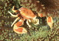 Porcelain crab neopetrolisthes oshimai hiding in an anemon lembeh strait north sulawesi indonesia Royalty Free Stock Photography