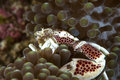 Porcelain crab nestling in tentacles of host anemone red and white flashes a wary sideways glance at alien intruder while seeking Stock Image
