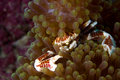 Porcelain Crab, Phillipines Royalty Free Stock Photo