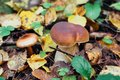 Porcini autumn in the forest. Mushroom in foliage Royalty Free Stock Photo
