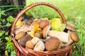 Porcini and chanterelles in the wicker basket mushrooms on green grass Royalty Free Stock Image