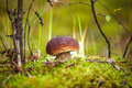 Porcini mushroom in the moss in a clearing in the forest. Select Royalty Free Stock Photo
