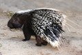 Porcupine animal rodent with sharp black and white quills Stock Photo