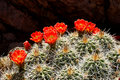 Porcupine Cactus in Bloom Stock Photo