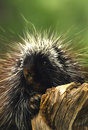 Porcupine Close up Stock Photography